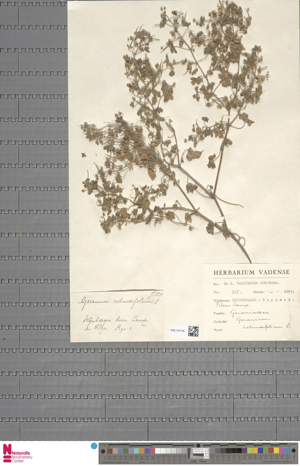 WAG.1813108 | Geranium rotundifolium L.