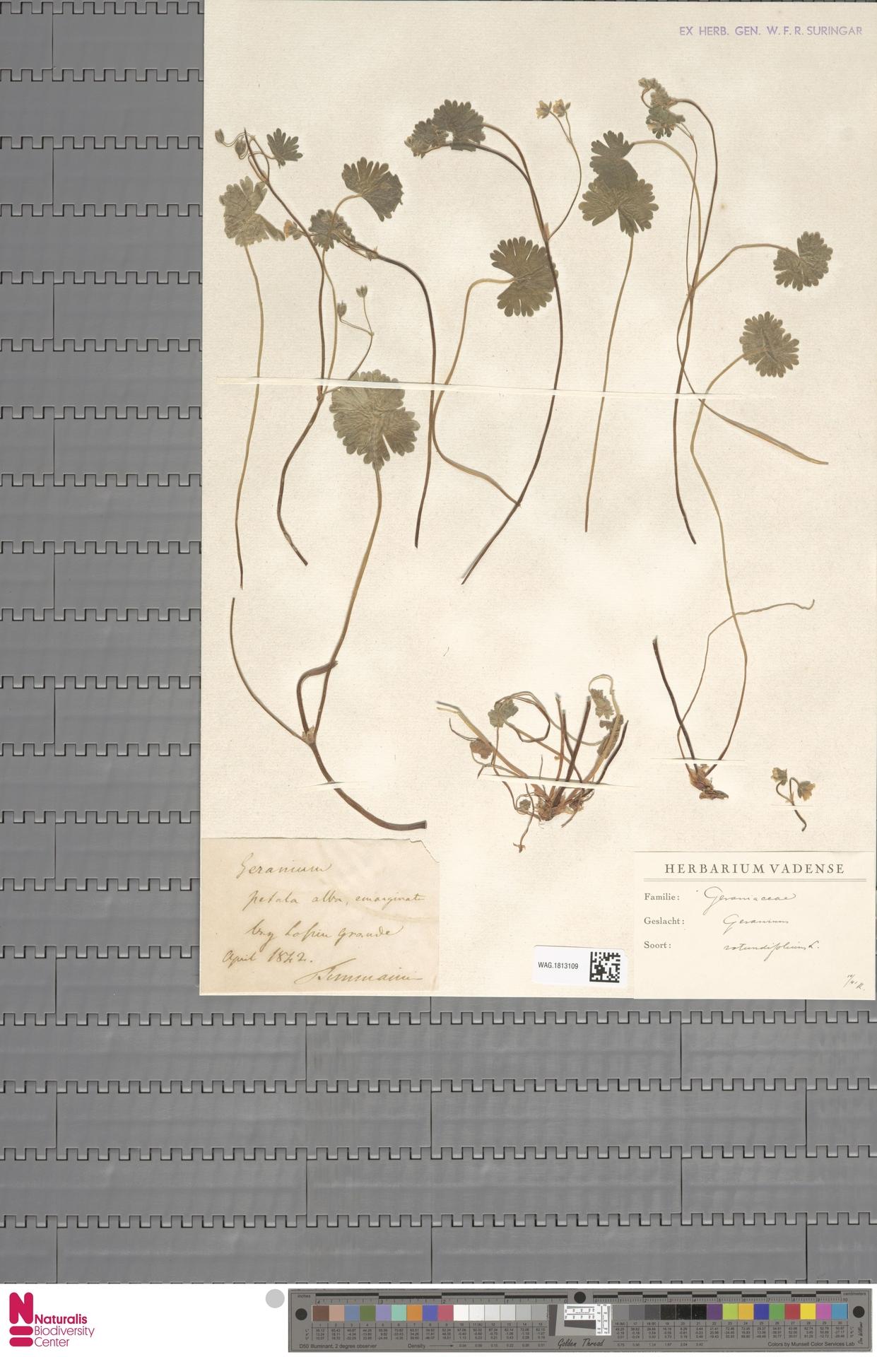 WAG.1813109   Geranium rotundifolium L.