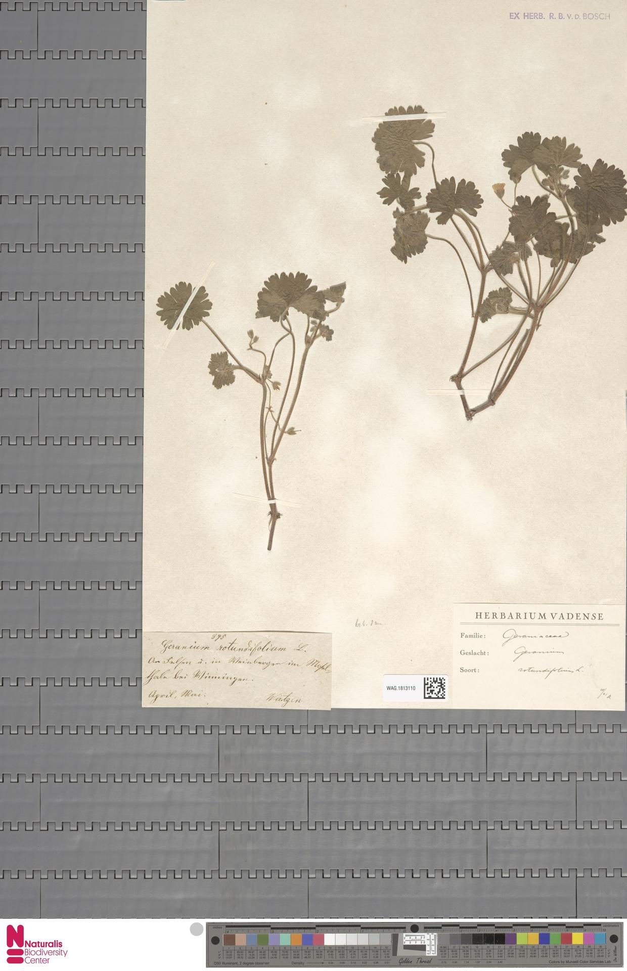 WAG.1813110 | Geranium rotundifolium L.