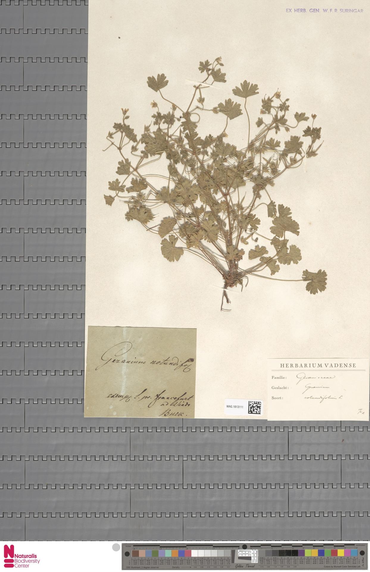 WAG.1813111   Geranium rotundifolium L.