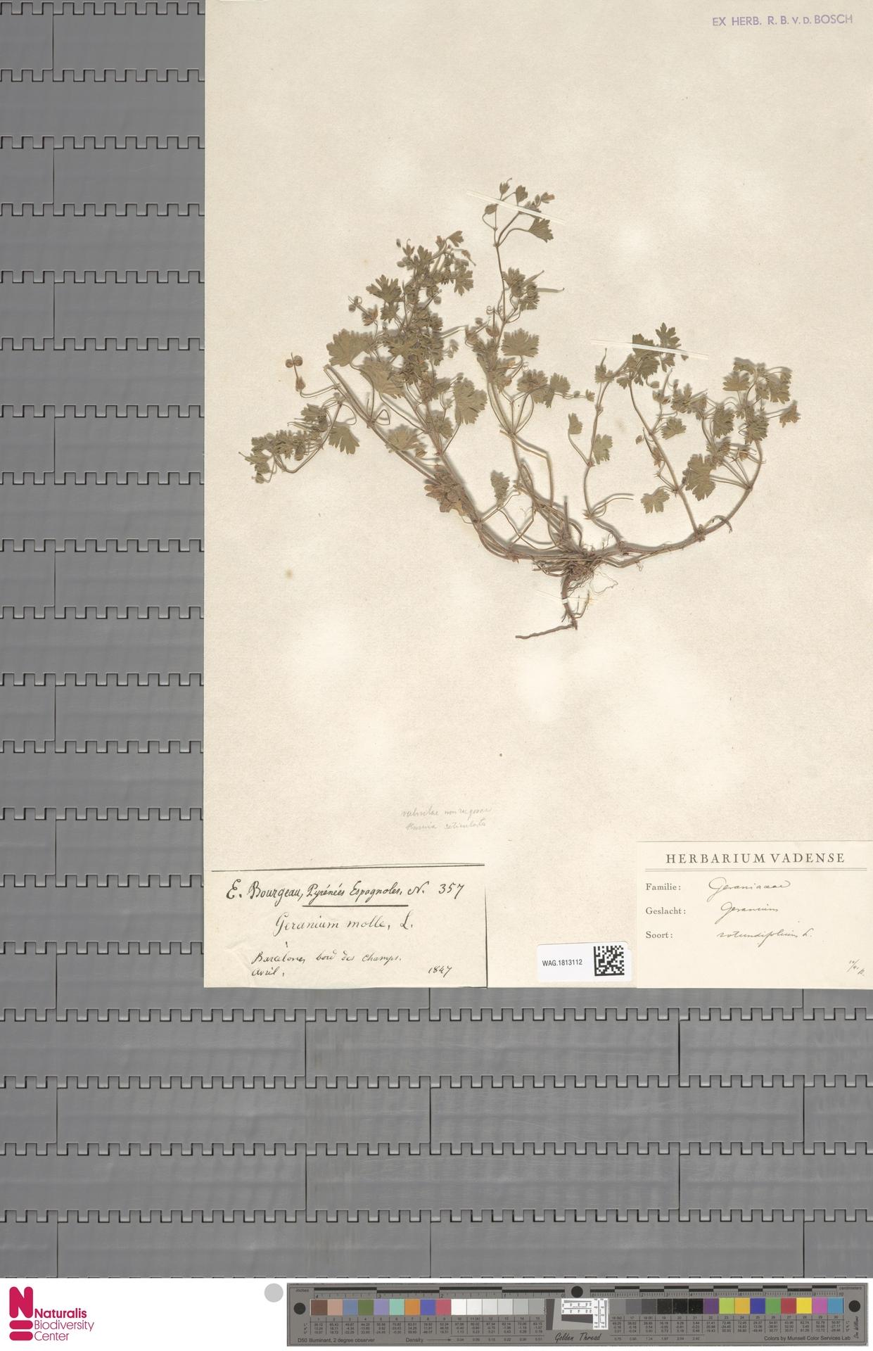WAG.1813112 | Geranium rotundifolium L.