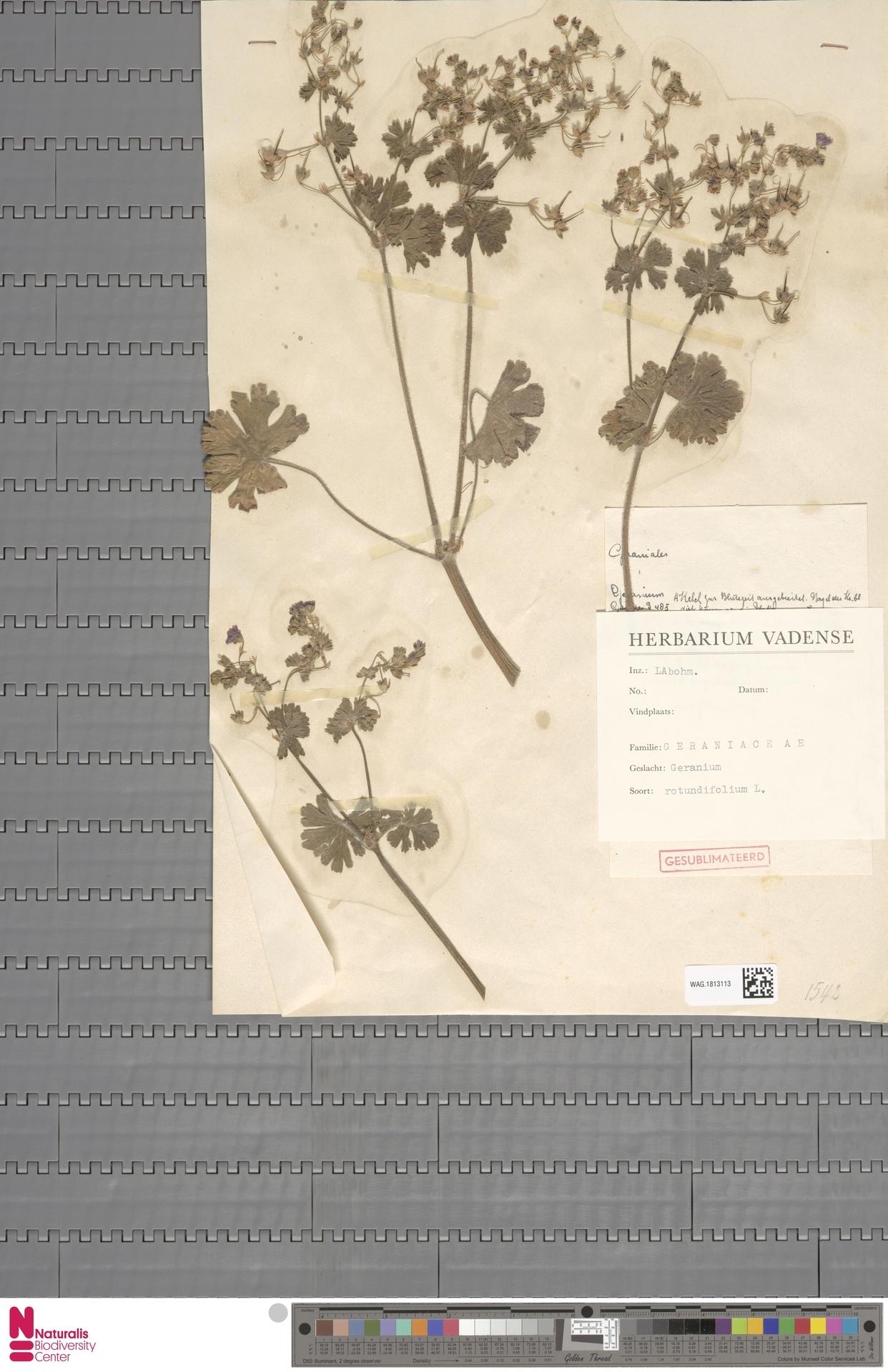WAG.1813113   Geranium rotundifolium L.