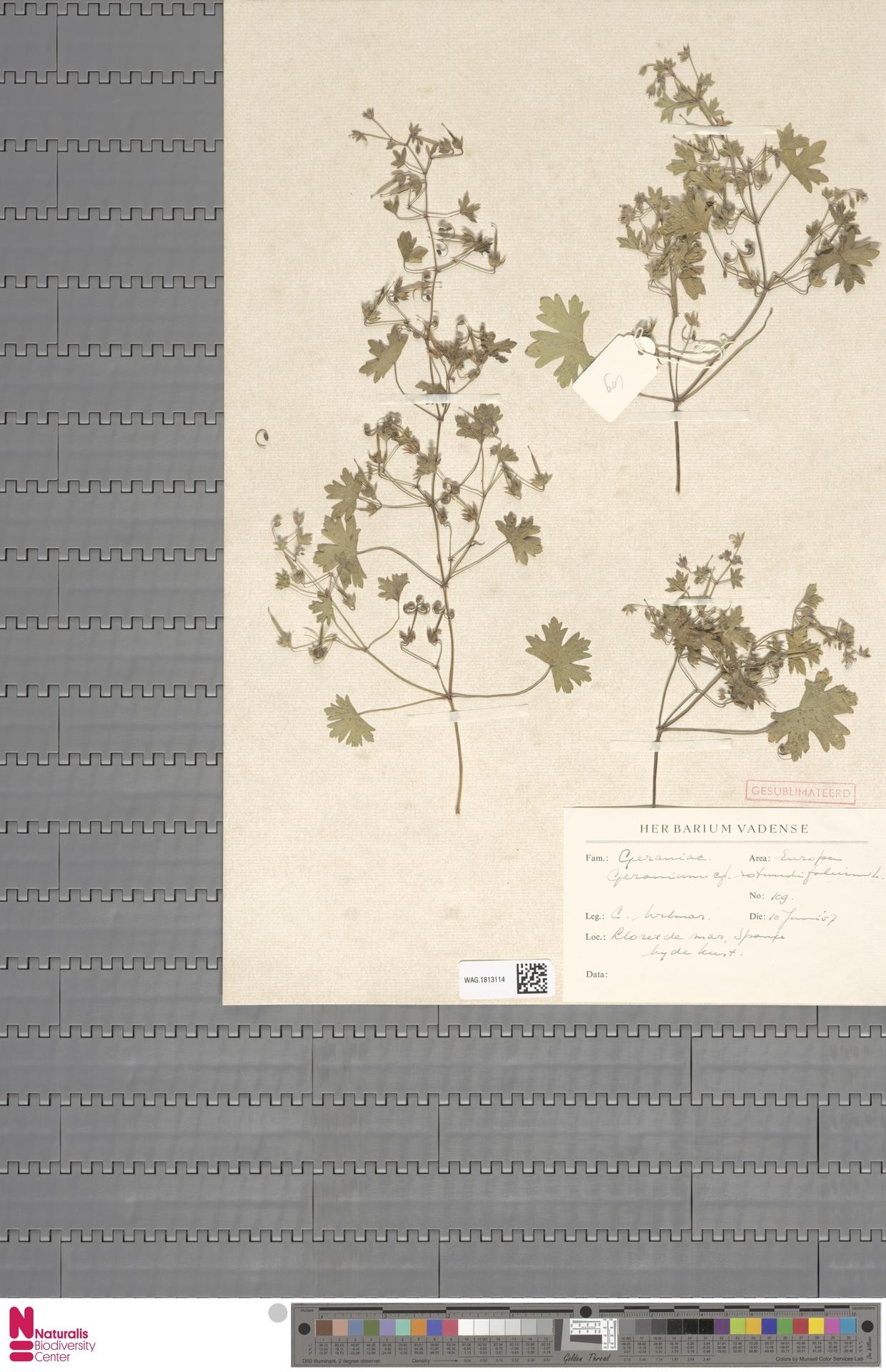 WAG.1813114   Geranium rotundifolium L.