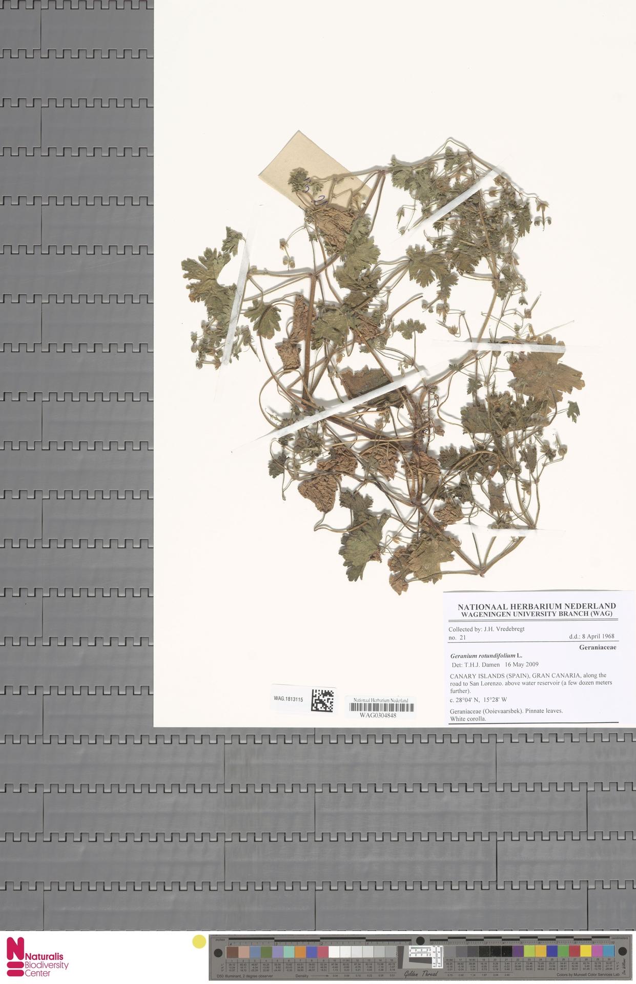 WAG.1813115   Geranium rotundifolium L.