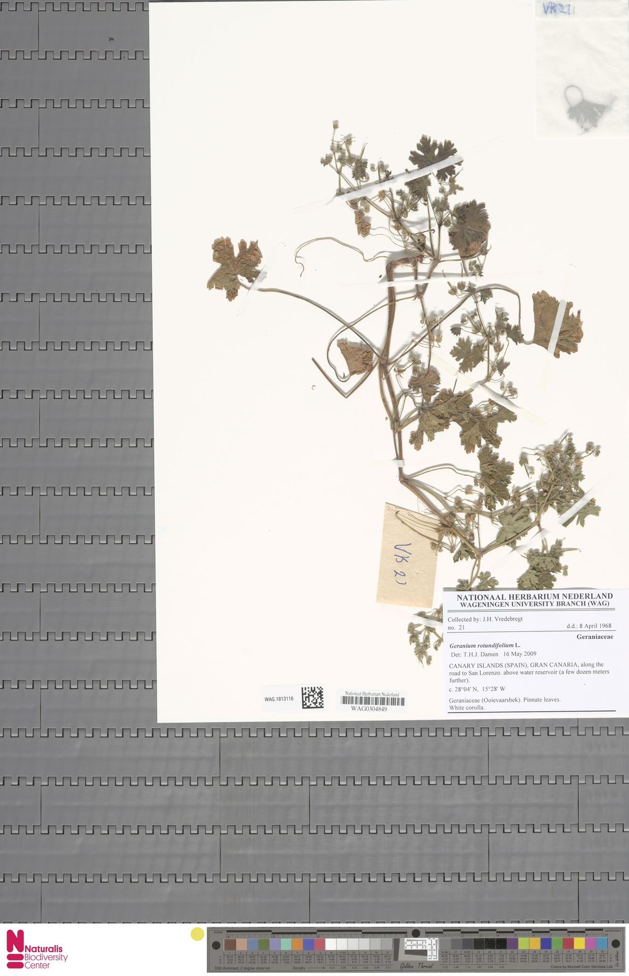 WAG.1813116   Geranium rotundifolium L.