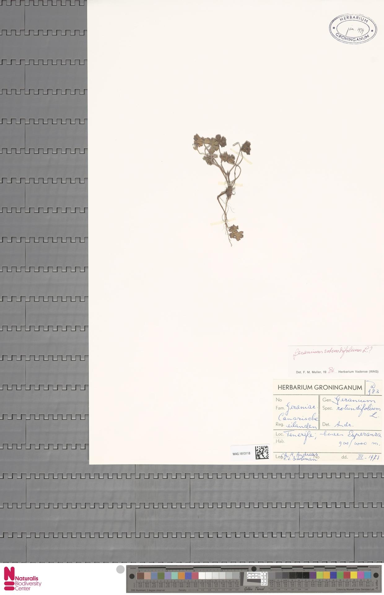 WAG.1813118 | Geranium rotundifolium L.