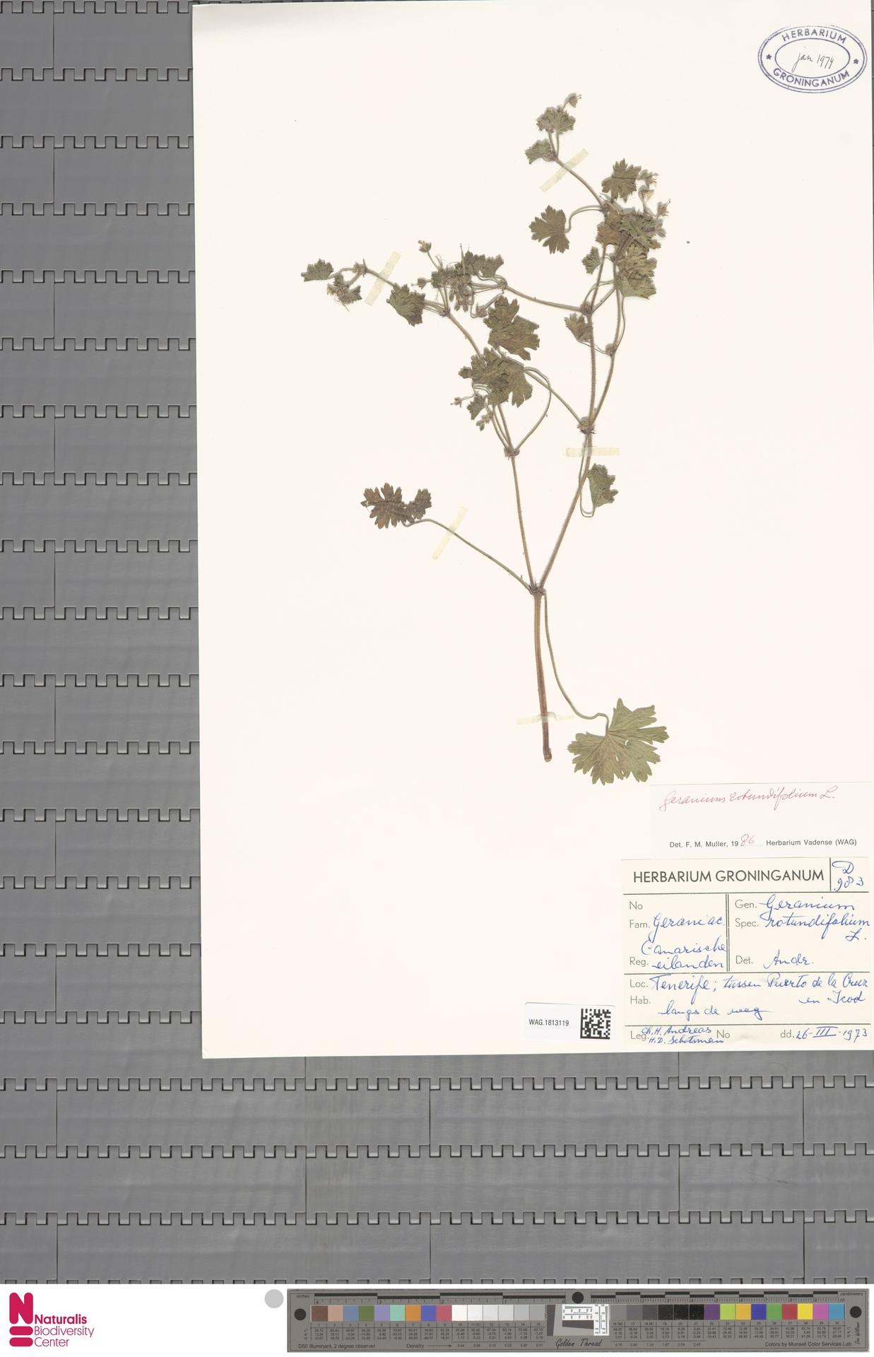 WAG.1813119 | Geranium rotundifolium L.