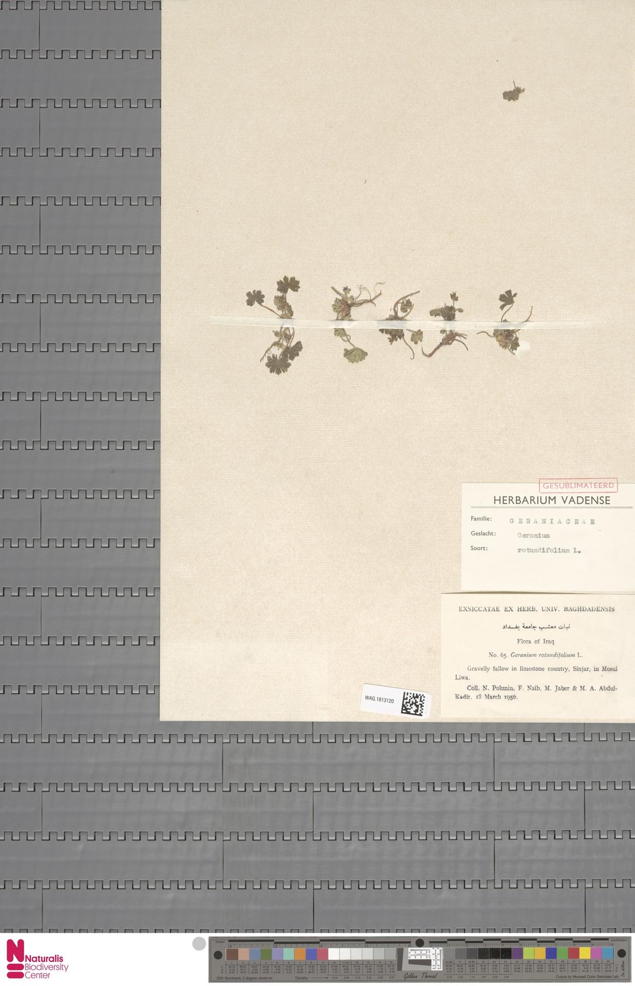 WAG.1813120   Geranium rotundifolium L.