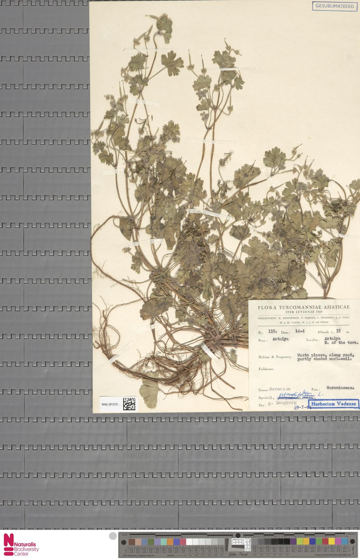 WAG.1813121   Geranium rotundifolium L.