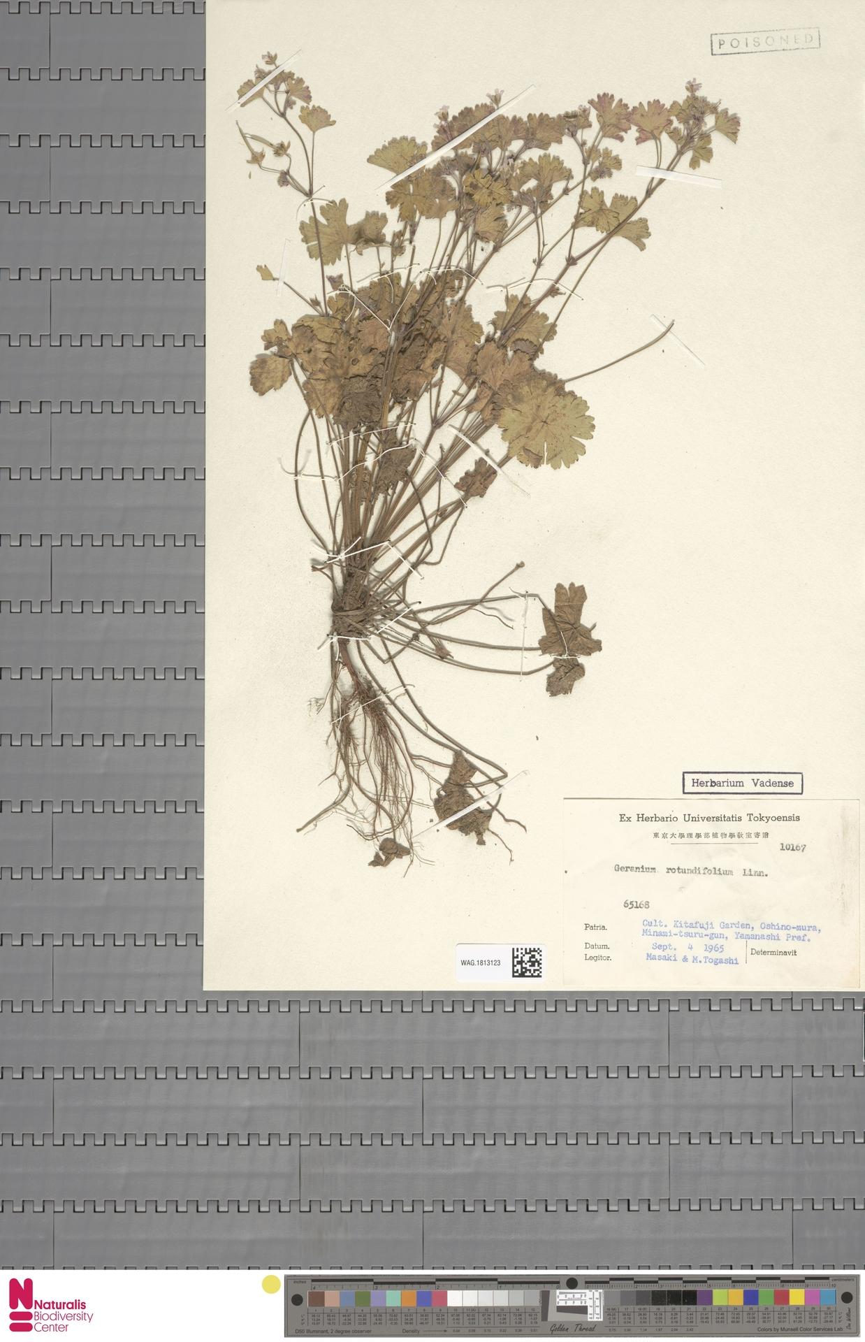 WAG.1813123 | Geranium rotundifolium L.