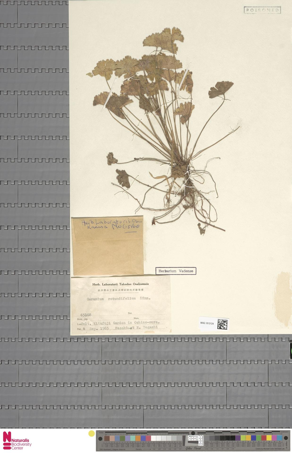 WAG.1813124 | Geranium rotundifolium L.