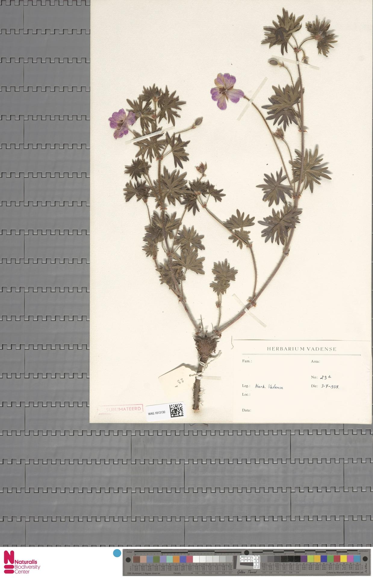 WAG.1813130 | Geranium sanguineum L.