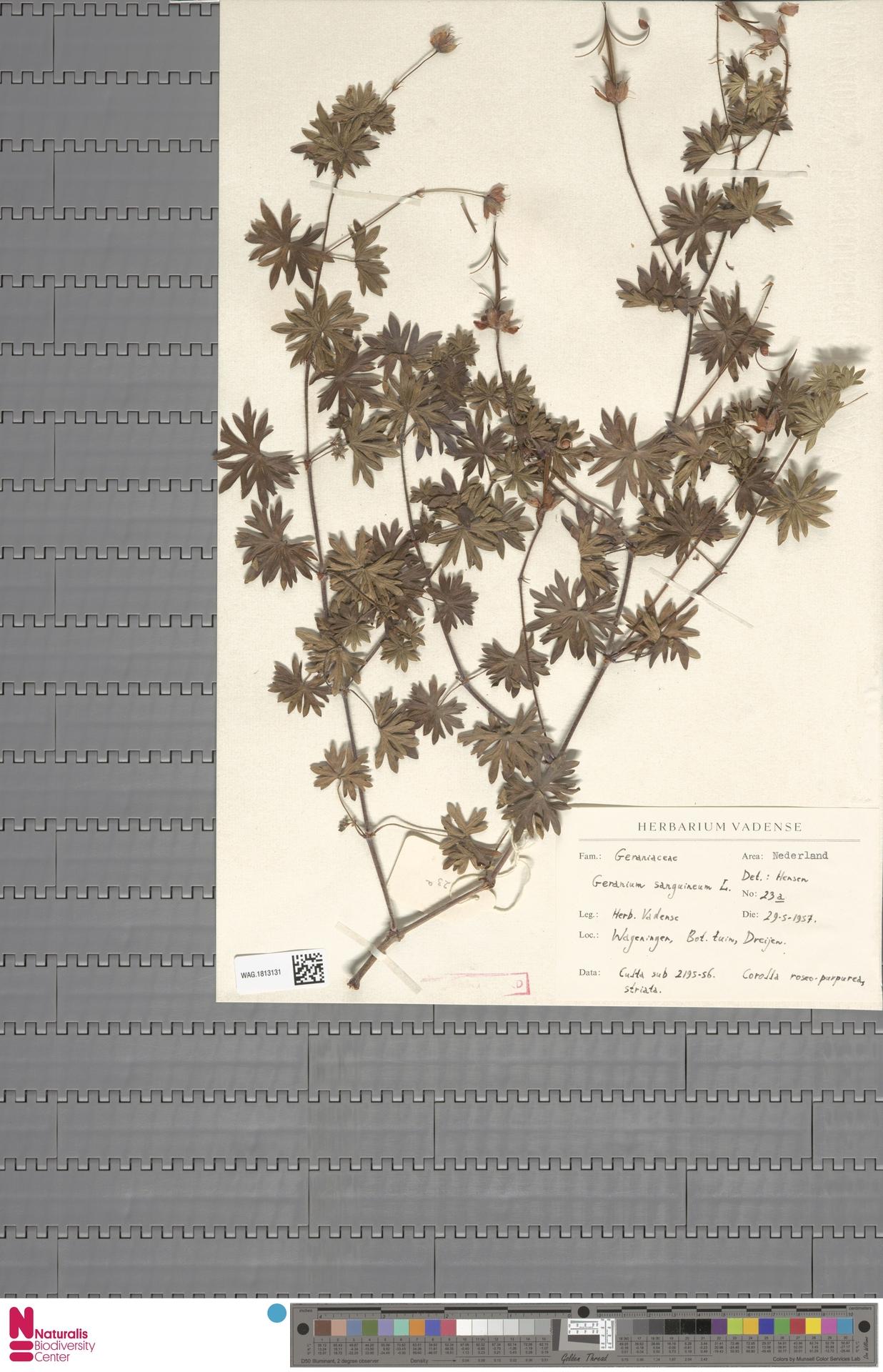 WAG.1813131 | Geranium sanguineum L.
