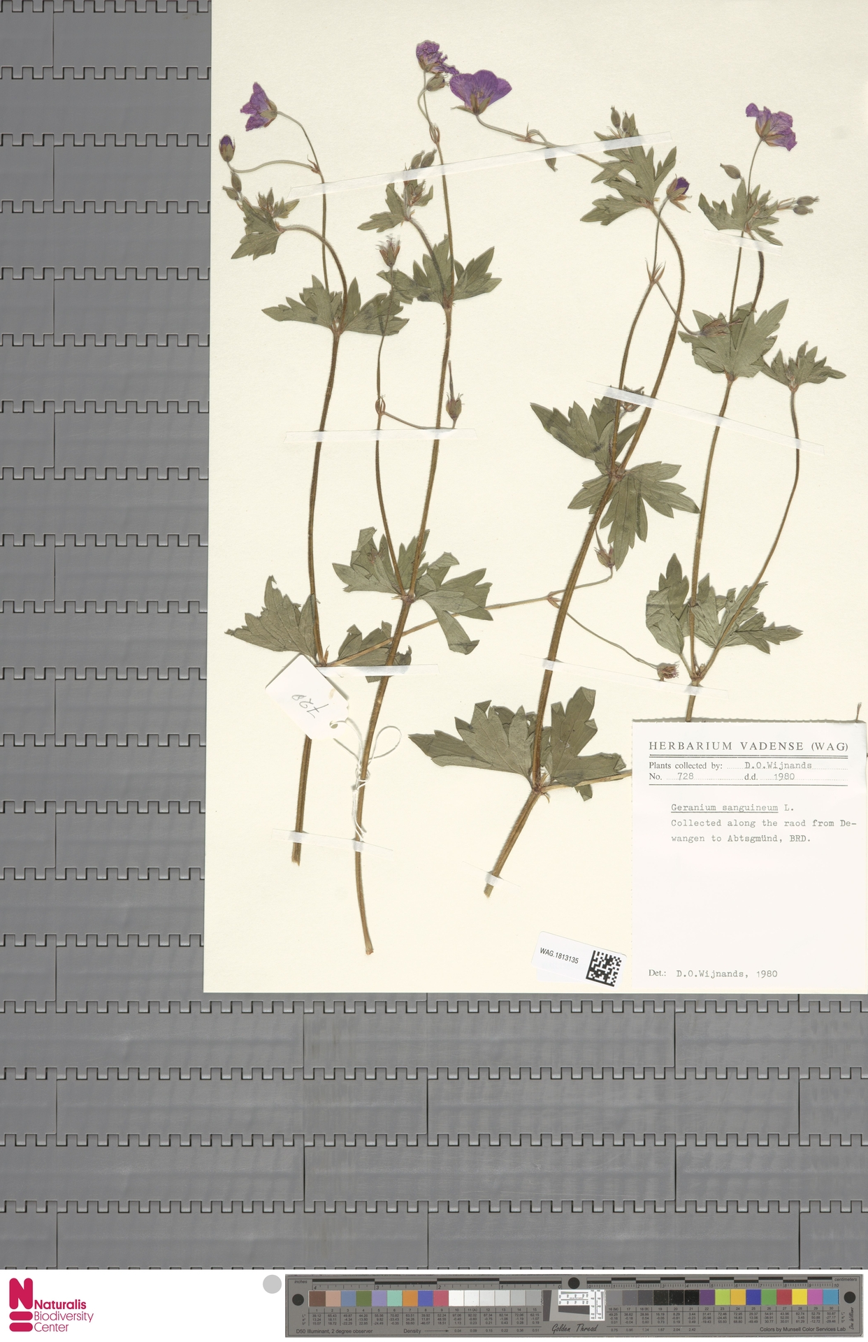 WAG.1813135 | Geranium sanguineum L.
