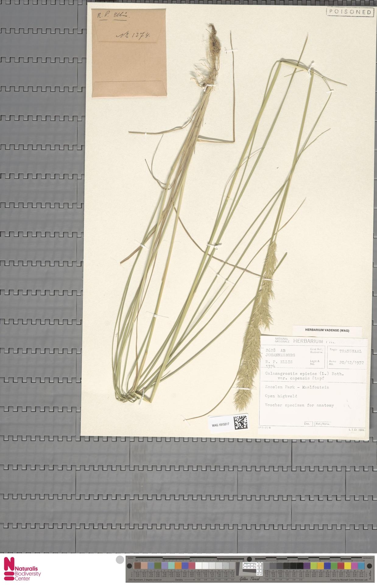 WAG.1815517 | Calamagrostis epigejos var. capensis Stapf