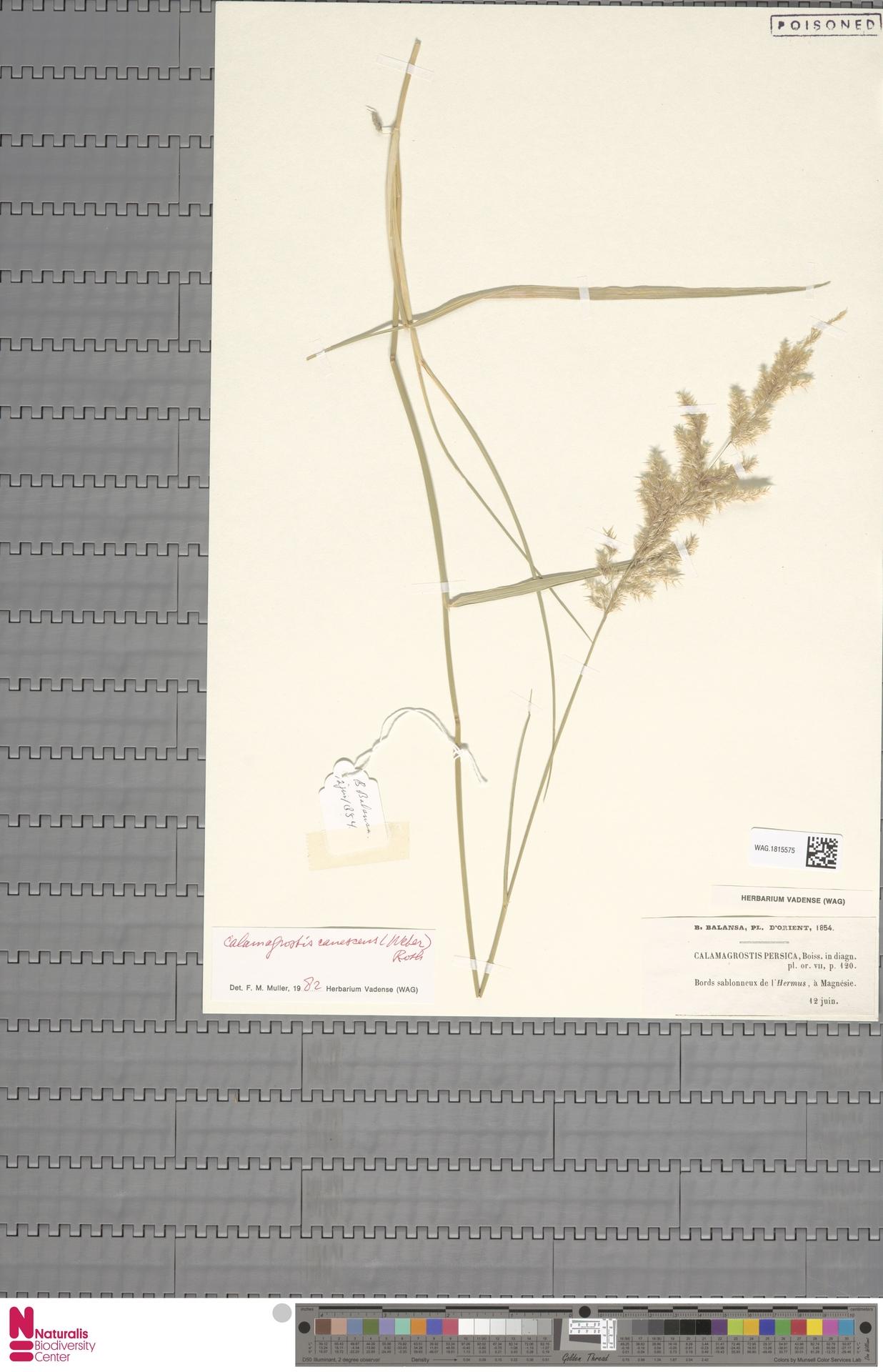 WAG.1815575   Calamagrostis canescens (Weber) Roth