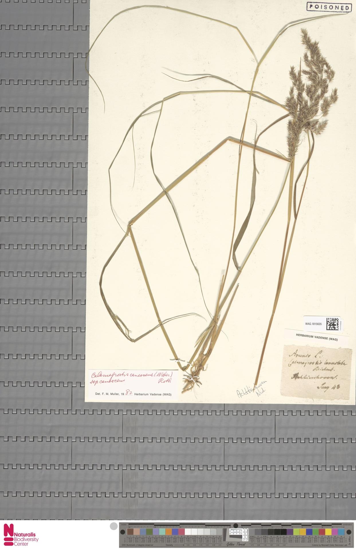WAG.1815635 | Calamagrostis canescens (Weber) Roth