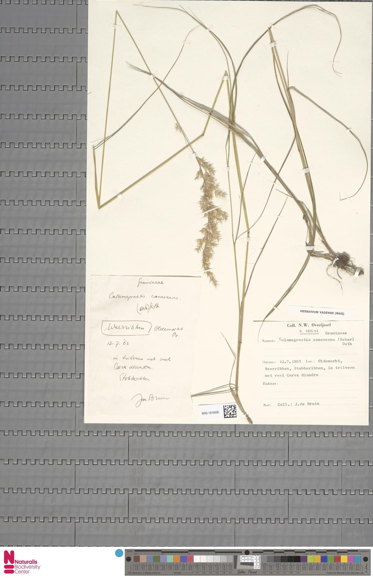 WAG.1815636   Calamagrostis canescens (Weber) Roth
