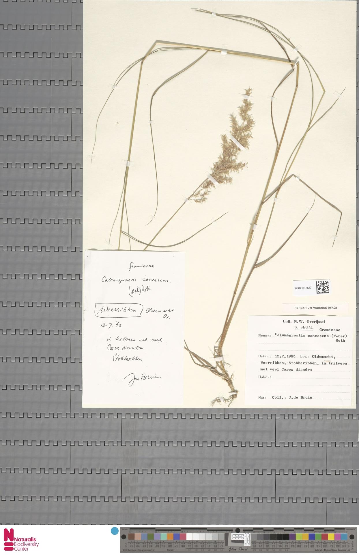 WAG.1815637 | Calamagrostis canescens (Weber) Roth