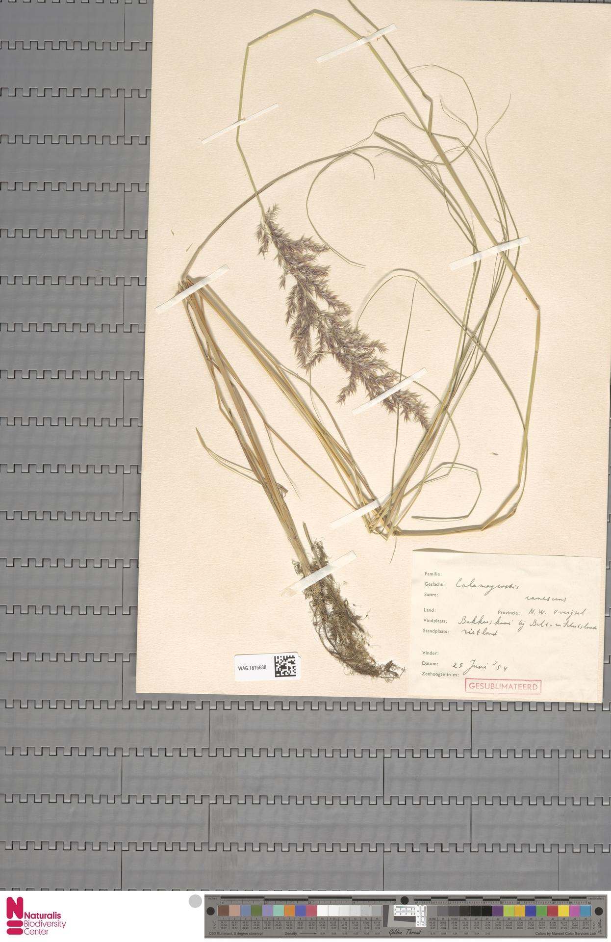 WAG.1815638 | Calamagrostis canescens (Weber) Roth