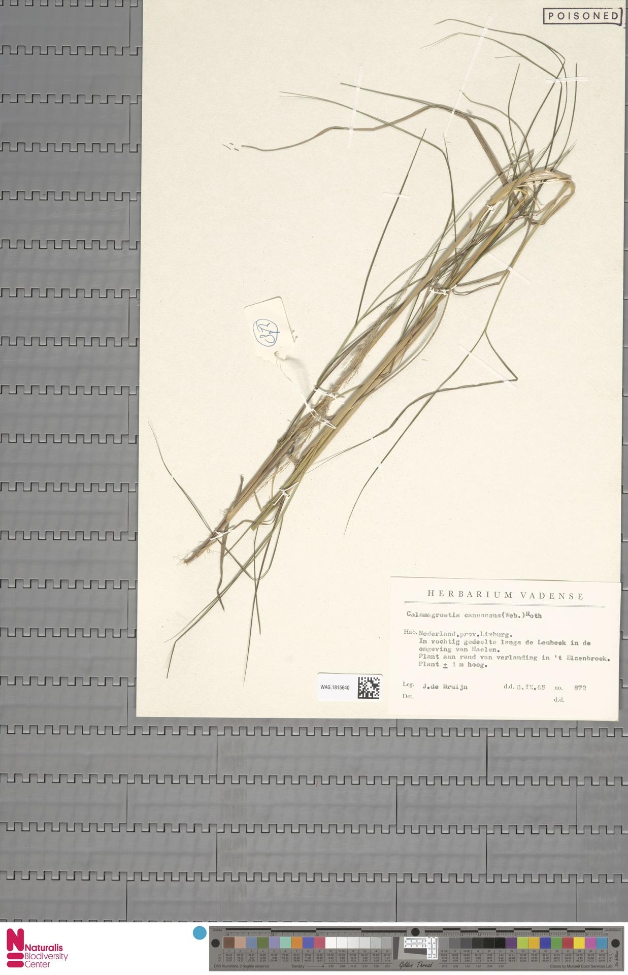 WAG.1815640 | Calamagrostis canescens (Weber) Roth