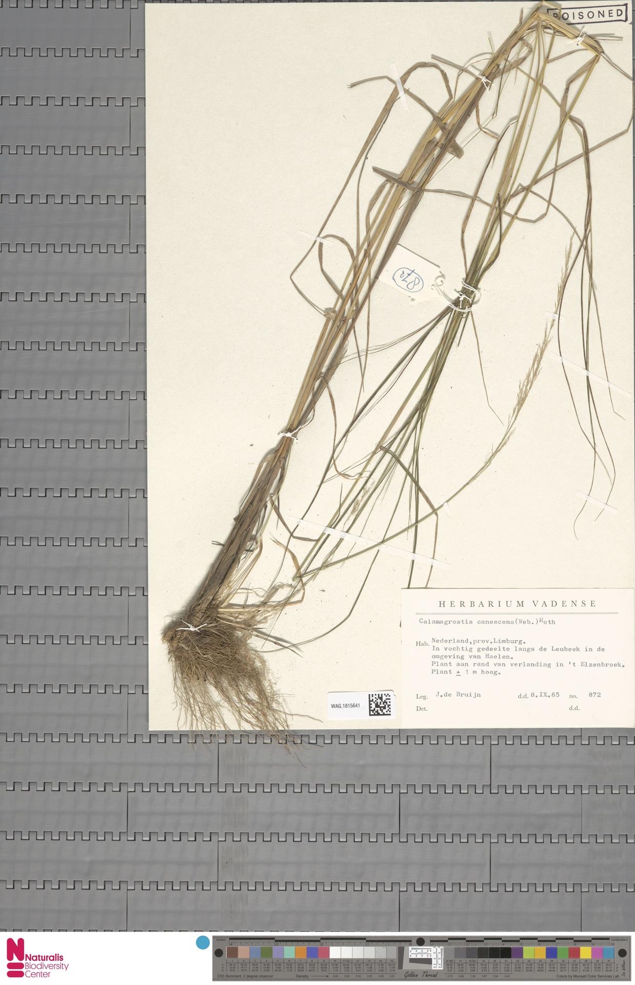 WAG.1815641 | Calamagrostis canescens (Weber) Roth