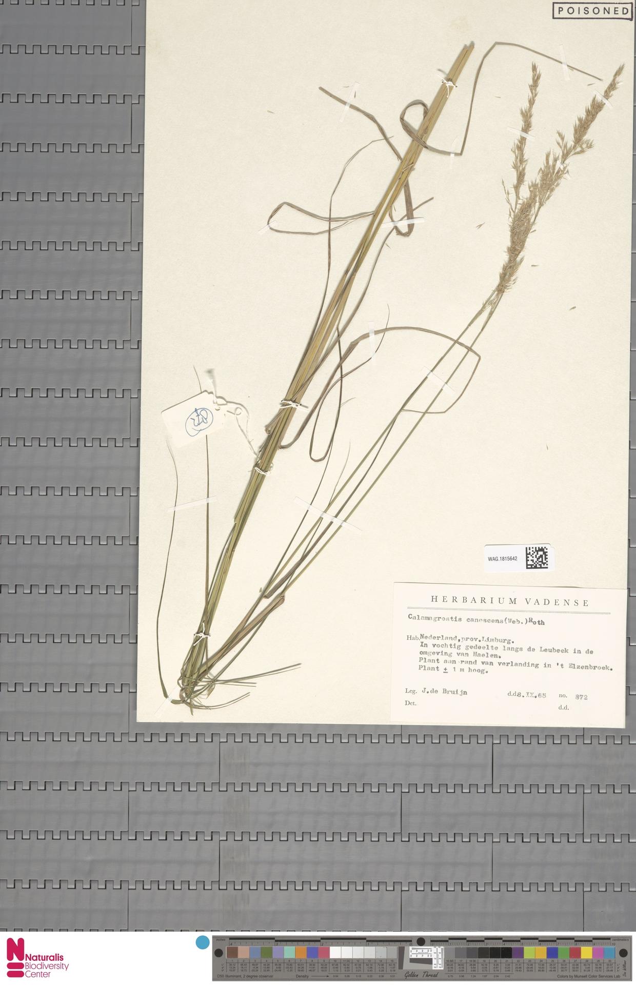 WAG.1815642 | Calamagrostis canescens (Weber) Roth