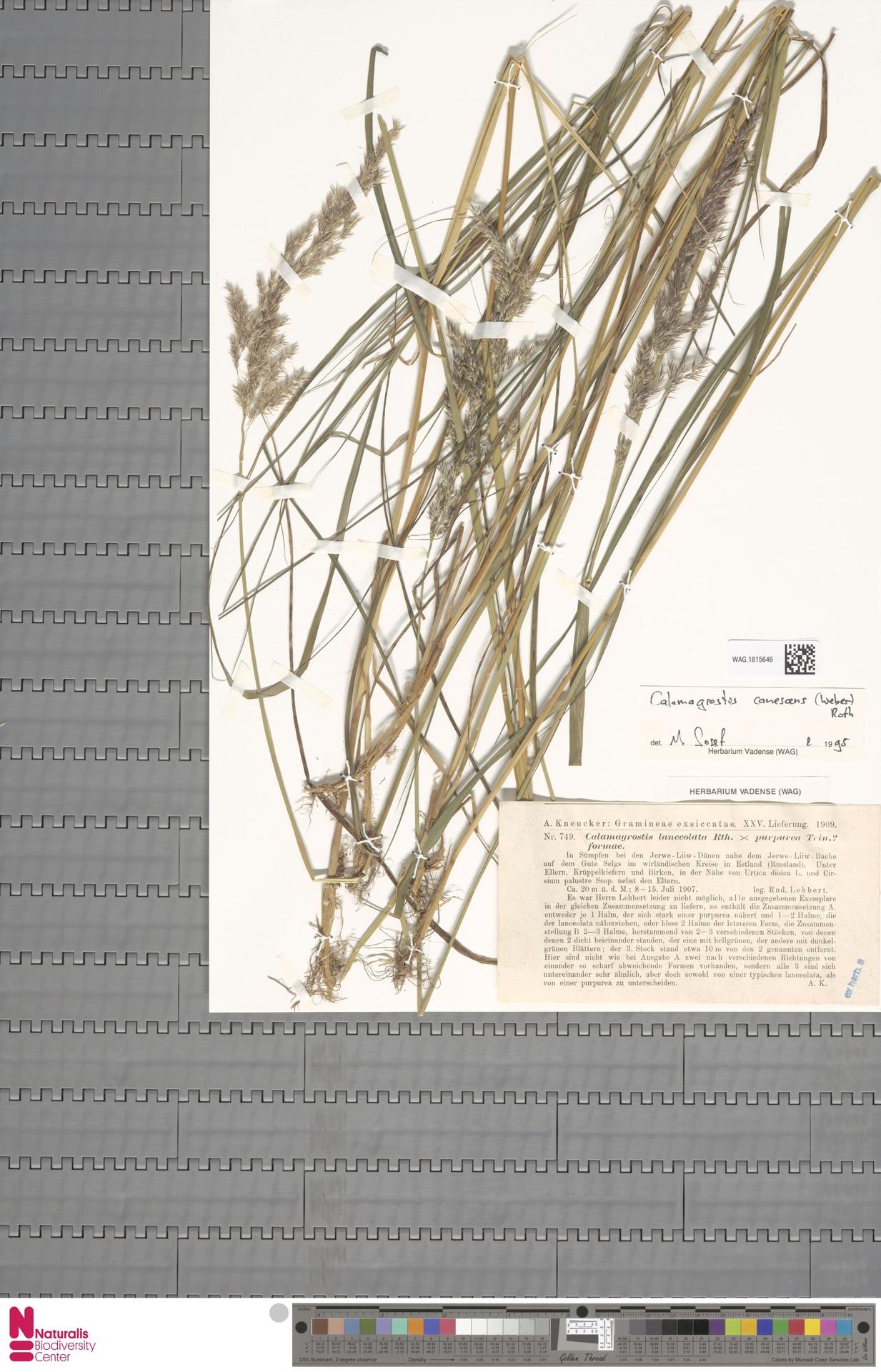 WAG.1815646 | Calamagrostis canescens (Weber) Roth
