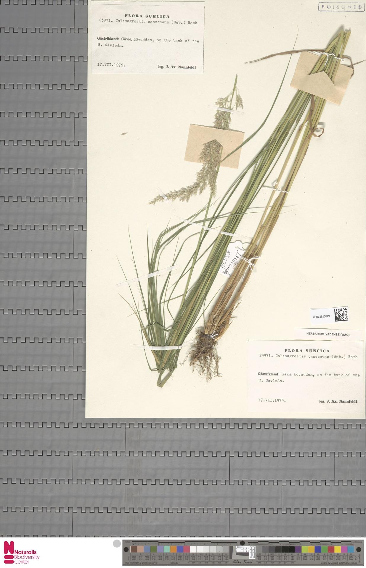 WAG.1815649 | Calamagrostis canescens (Weber) Roth