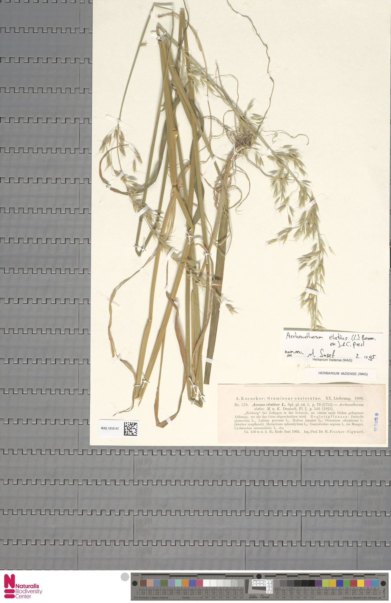 WAG.1816147   Arrhenatherum elatius (L.) P.Beauv. ex J.Presl & C.Presl
