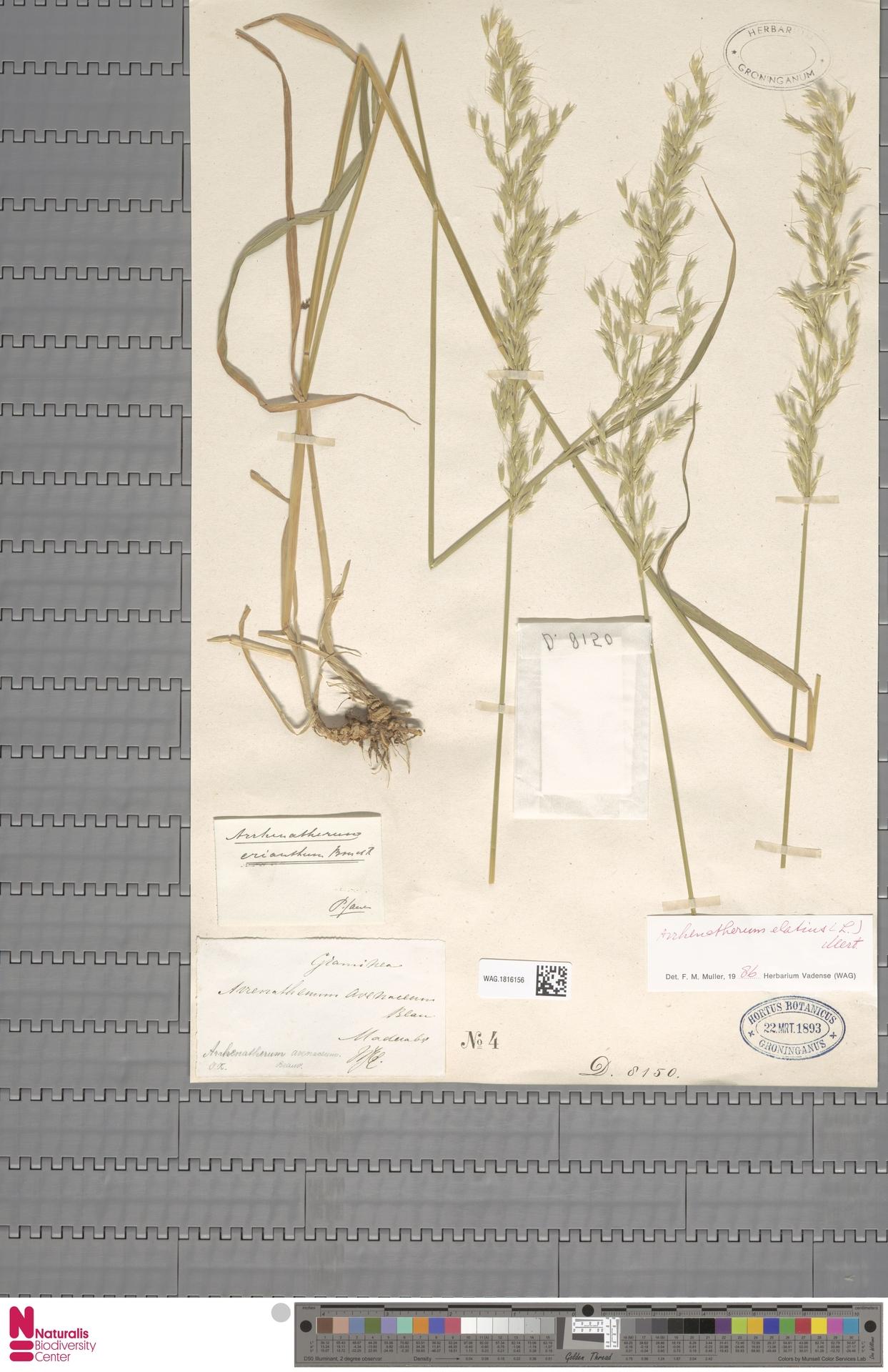 WAG.1816156 | Arrhenatherum elatius (L.) P.Beauv. ex J.Presl & C.Presl