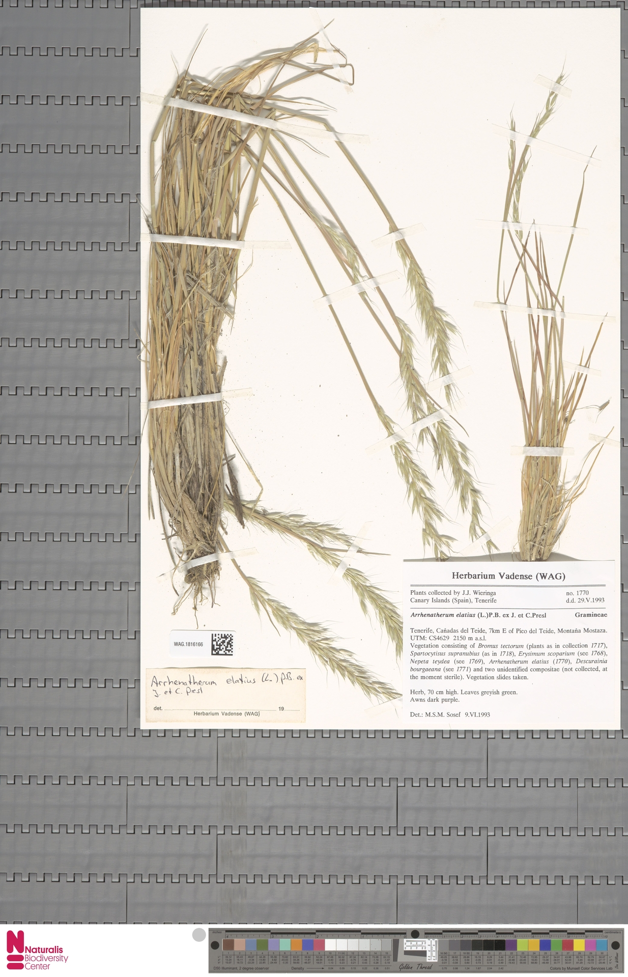 WAG.1816166 | Arrhenatherum elatius (L.) P.Beauv. ex J.Presl & C.Presl