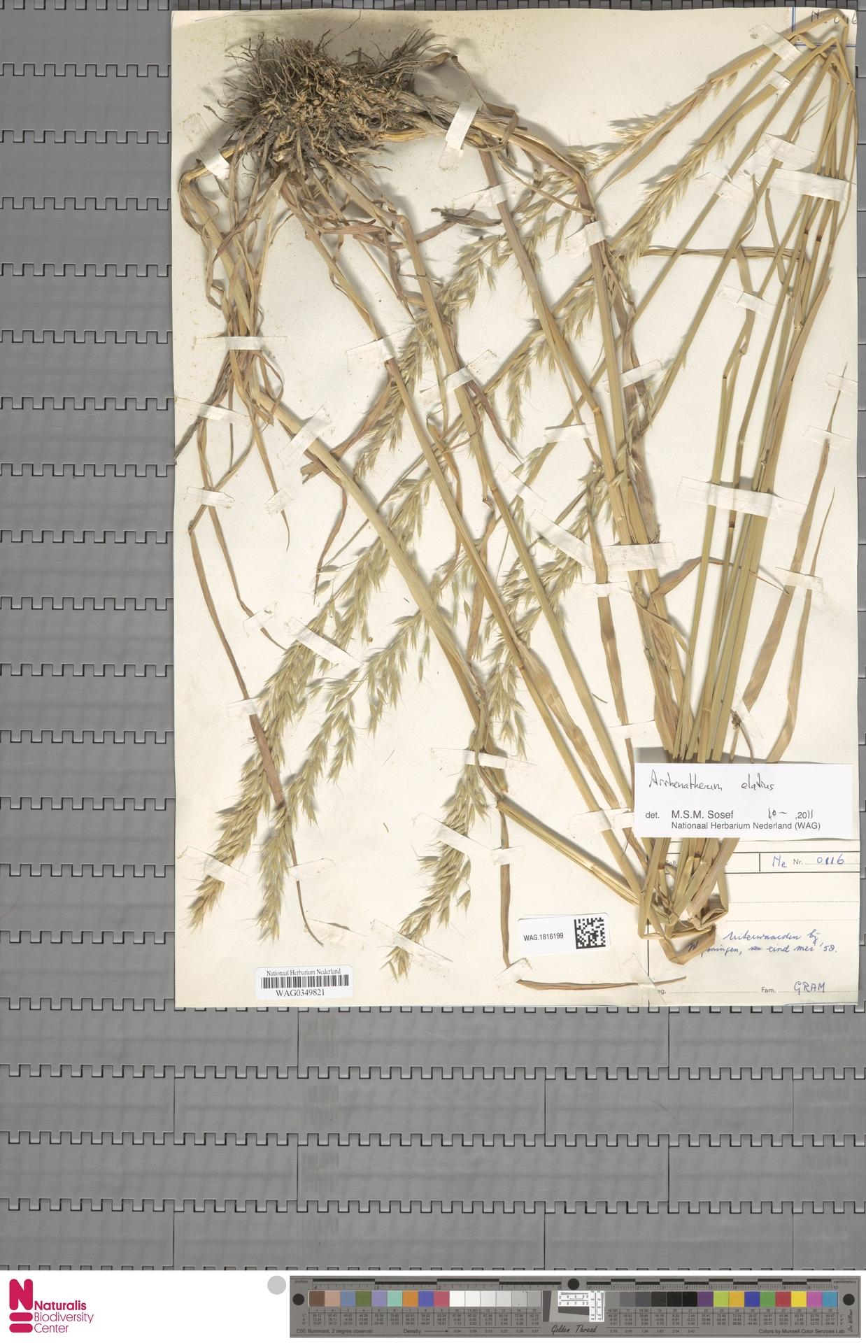 WAG.1816199   Arrhenatherum elatius (L.) P.Beauv. ex J.Presl & C.Presl