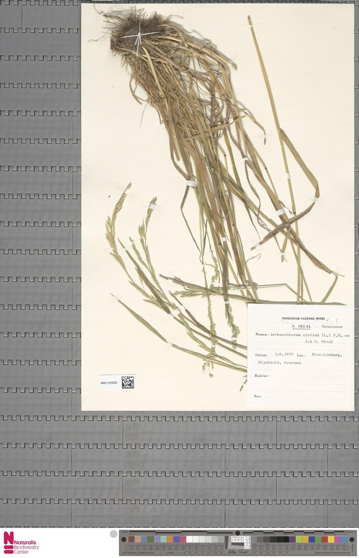WAG.1816200 | Arrhenatherum elatius (L.) P.Beauv. ex J.Presl & C.Presl