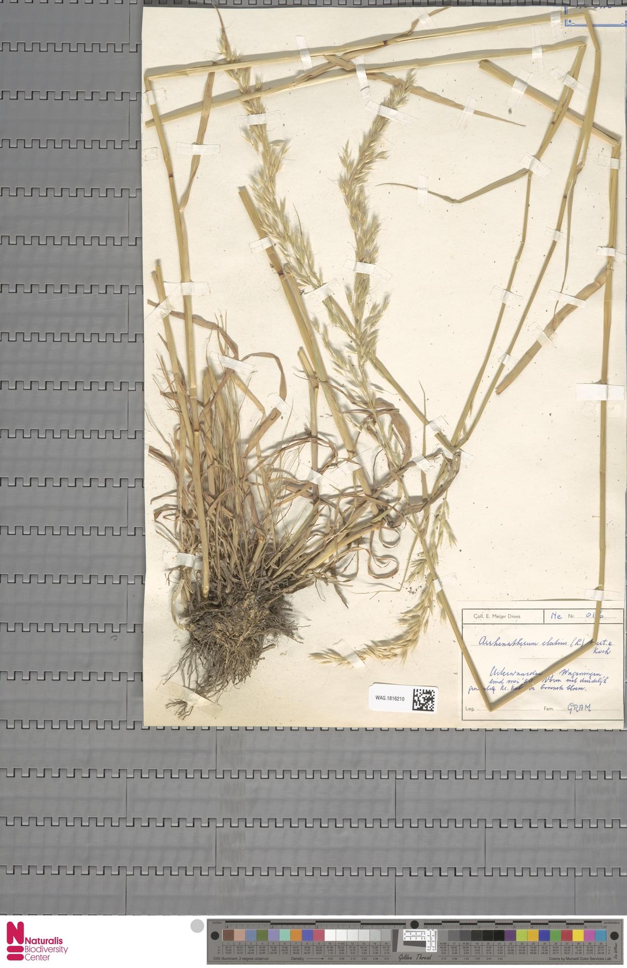 WAG.1816210 | Arrhenatherum elatius (L.) P.Beauv. ex J.Presl & C.Presl