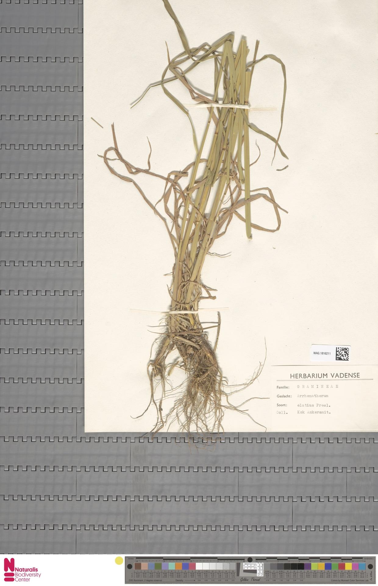 WAG.1816211 | Arrhenatherum elatius (L.) P.Beauv. ex J.Presl & C.Presl