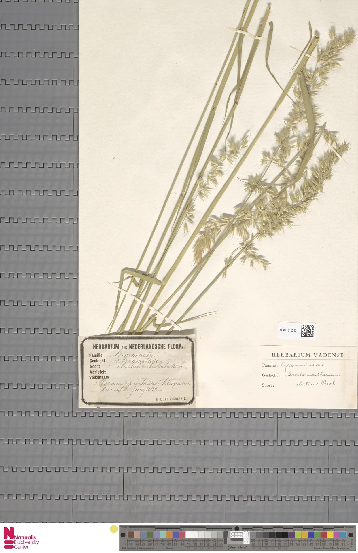 WAG.1816212 | Arrhenatherum elatius (L.) P.Beauv. ex J.Presl & C.Presl