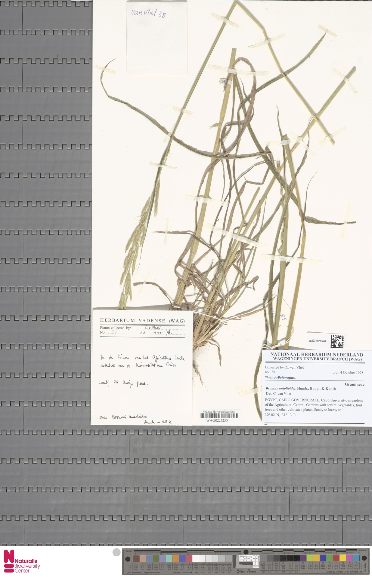 WAG.1821576 | Bromus catharticus Vahl