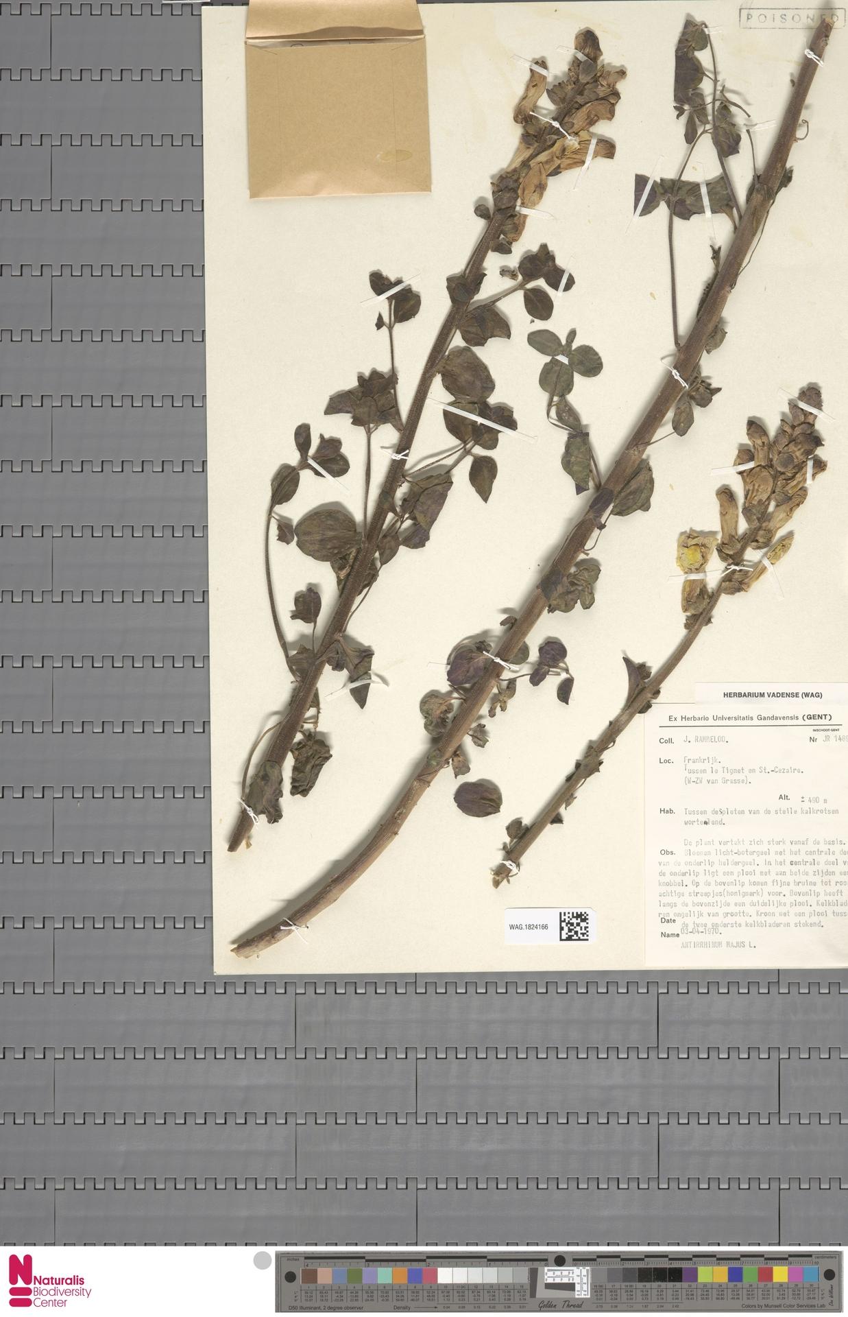 WAG.1824166 | Antirrhinum majus L.