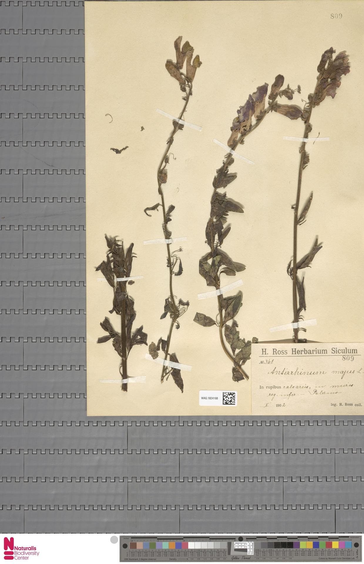 WAG.1824168 | Antirrhinum majus L.