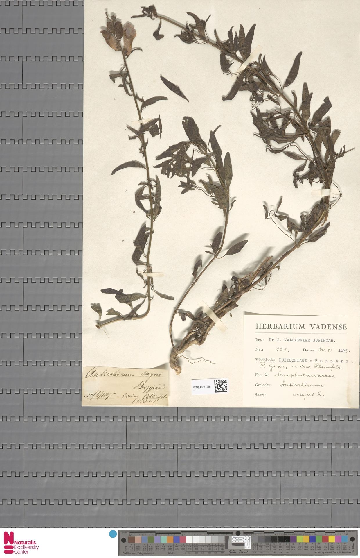 WAG.1824169 | Antirrhinum majus L.