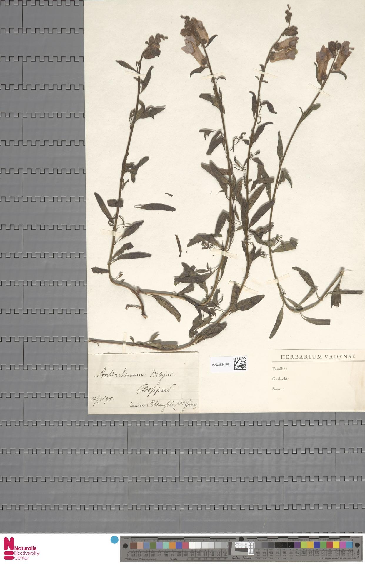 WAG.1824170   Antirrhinum majus L.