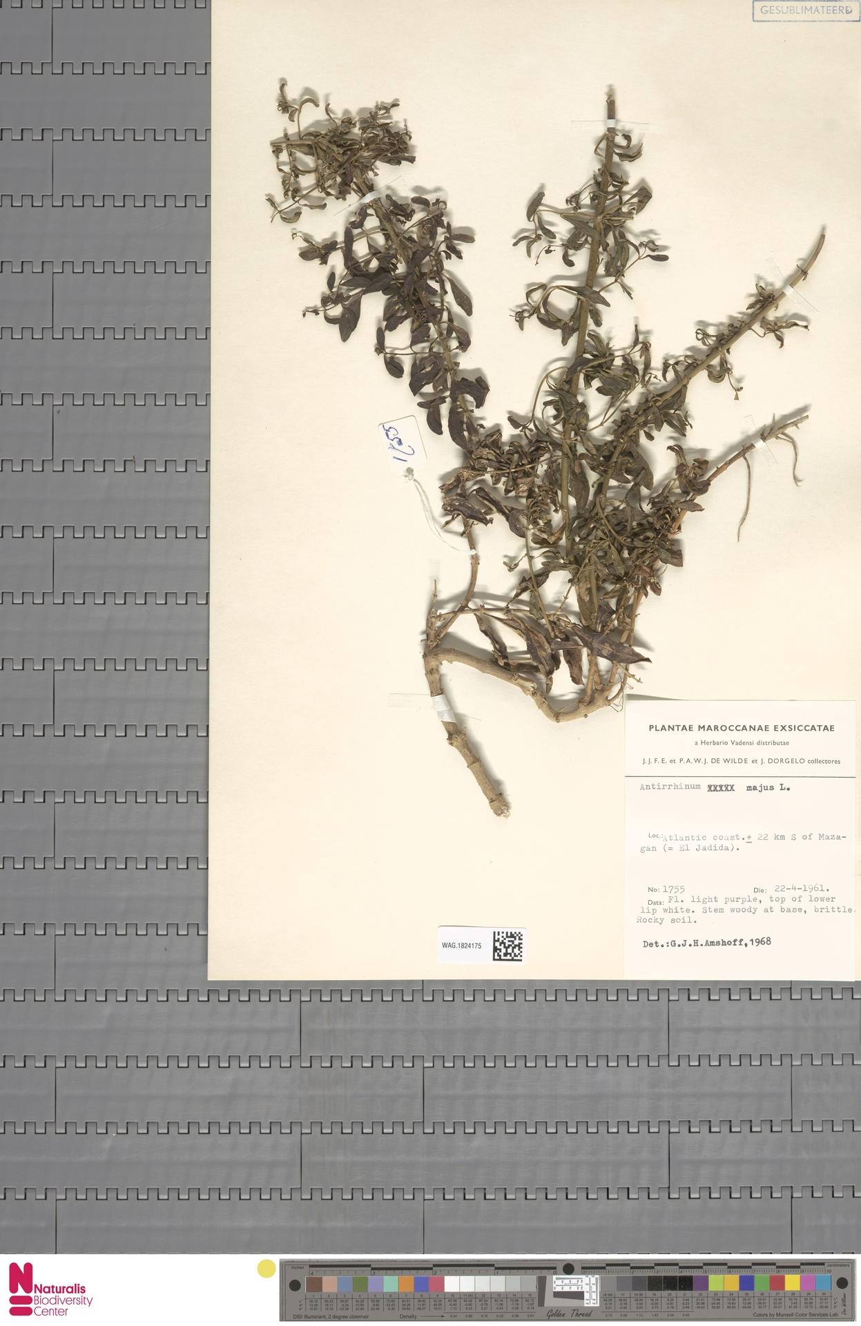 WAG.1824175 | Antirrhinum majus L.