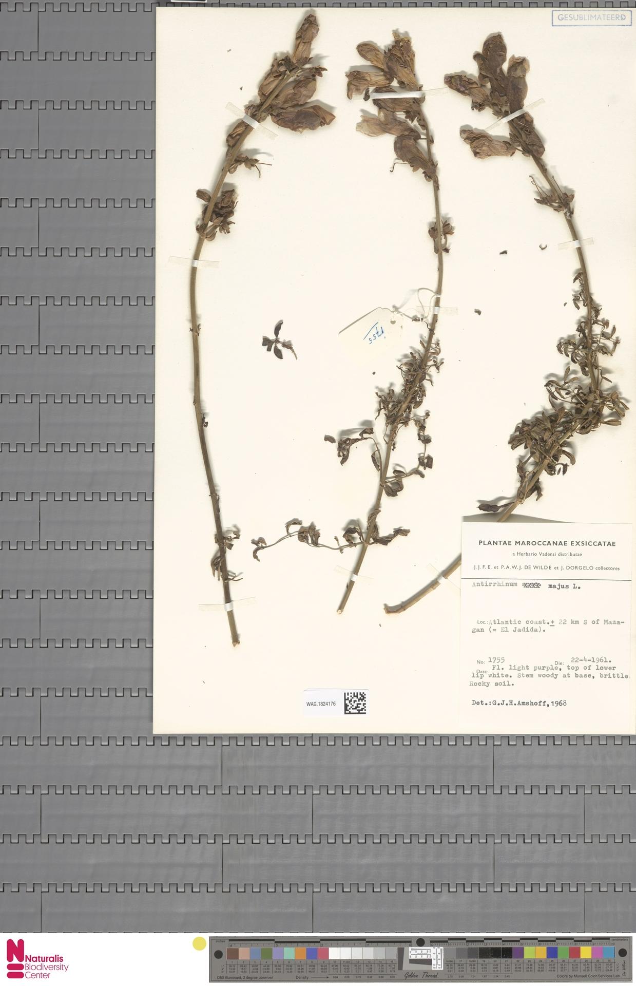 WAG.1824176 | Antirrhinum majus L.
