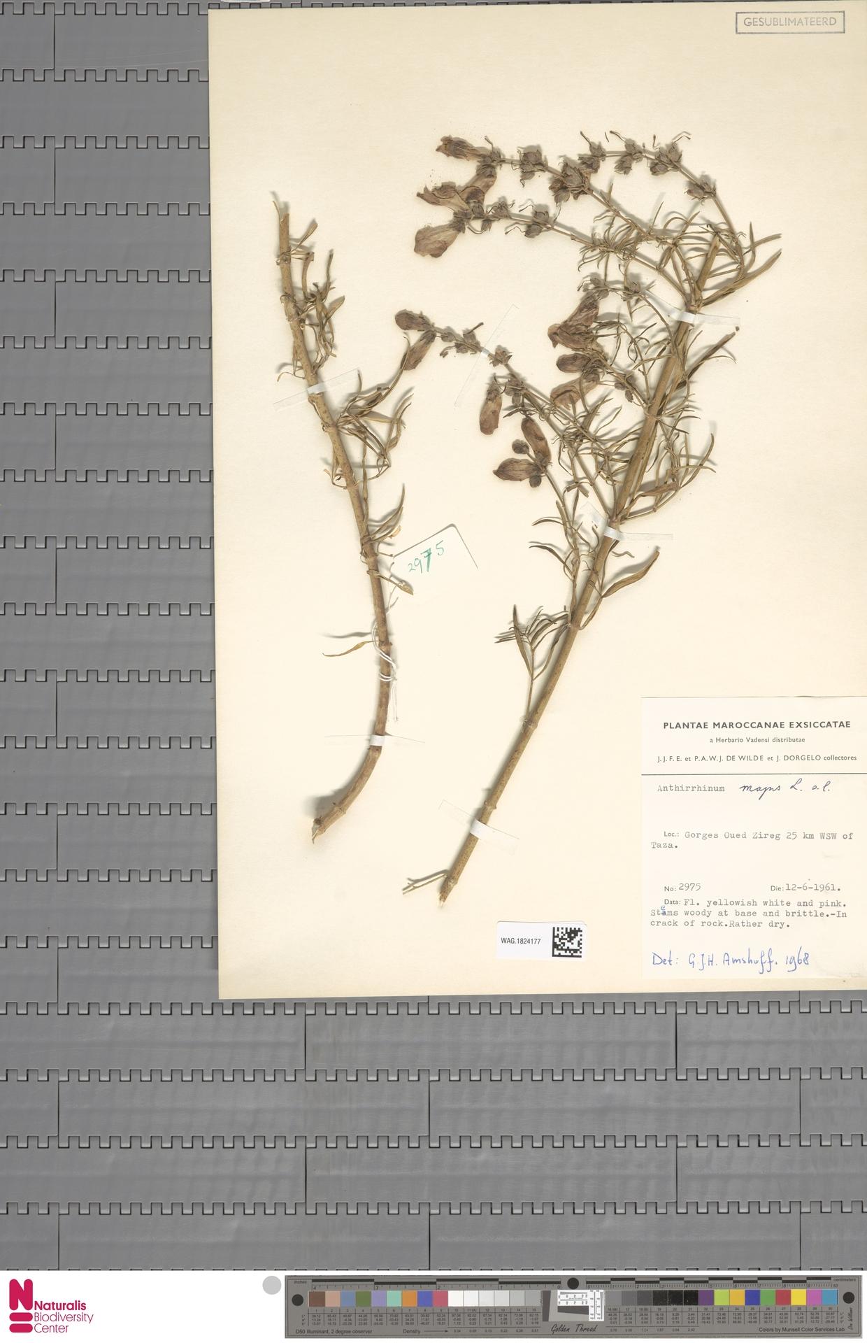 WAG.1824177 | Antirrhinum majus L.