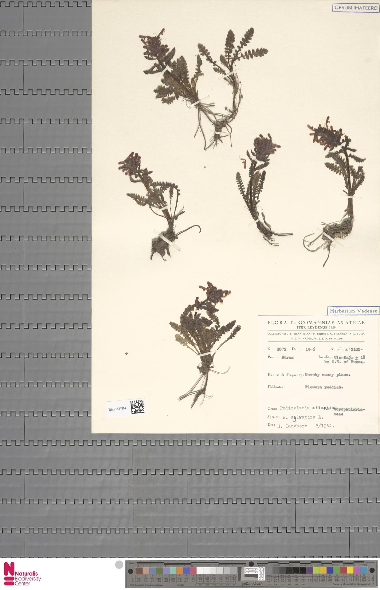 WAG.1824814 | Pedicularis sylvatica L.