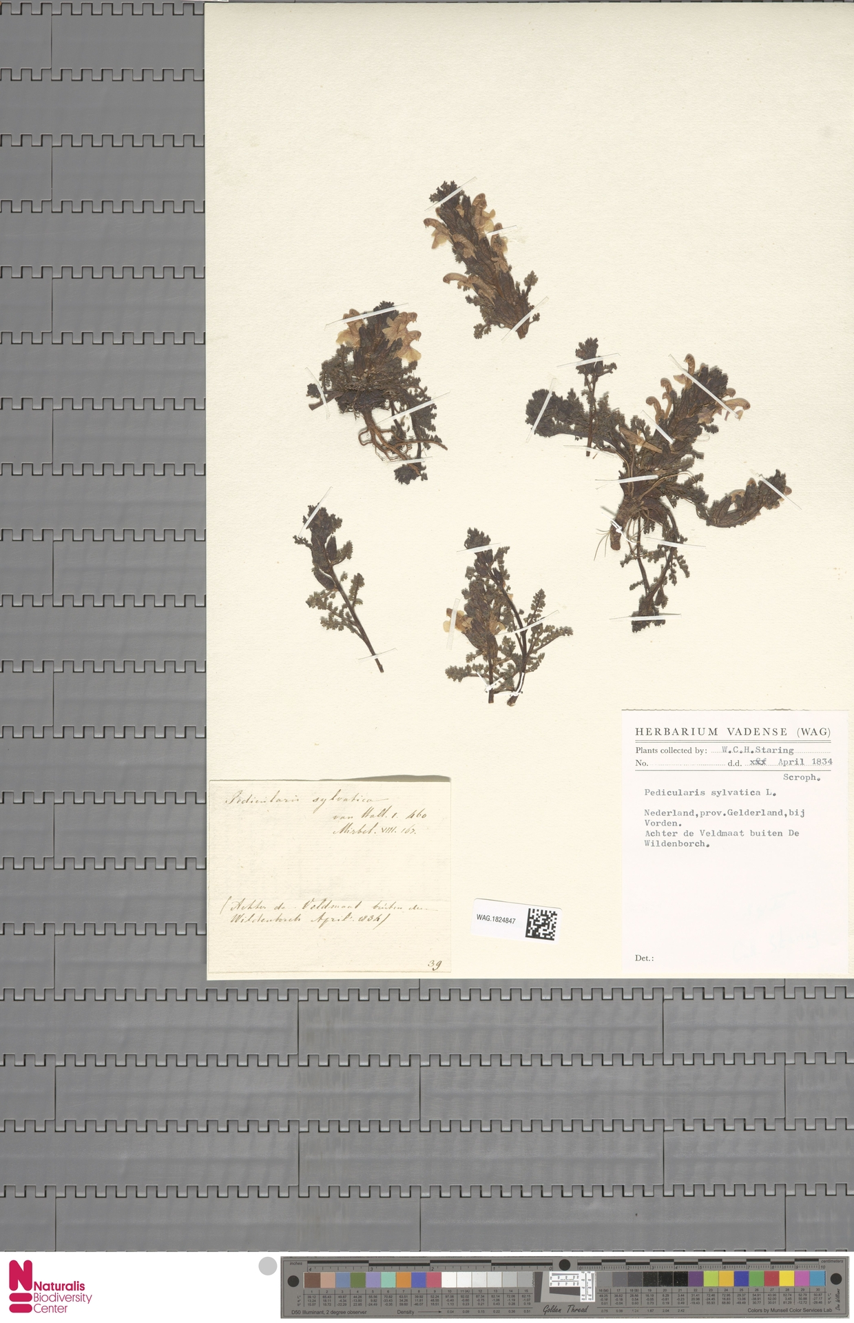 WAG.1824847 | Pedicularis sylvatica L.