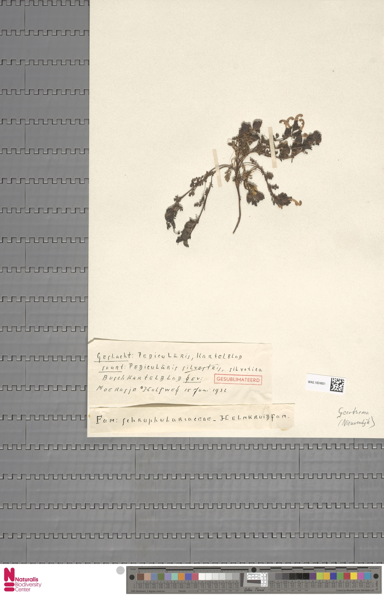 WAG.1824851   Pedicularis sylvatica L.