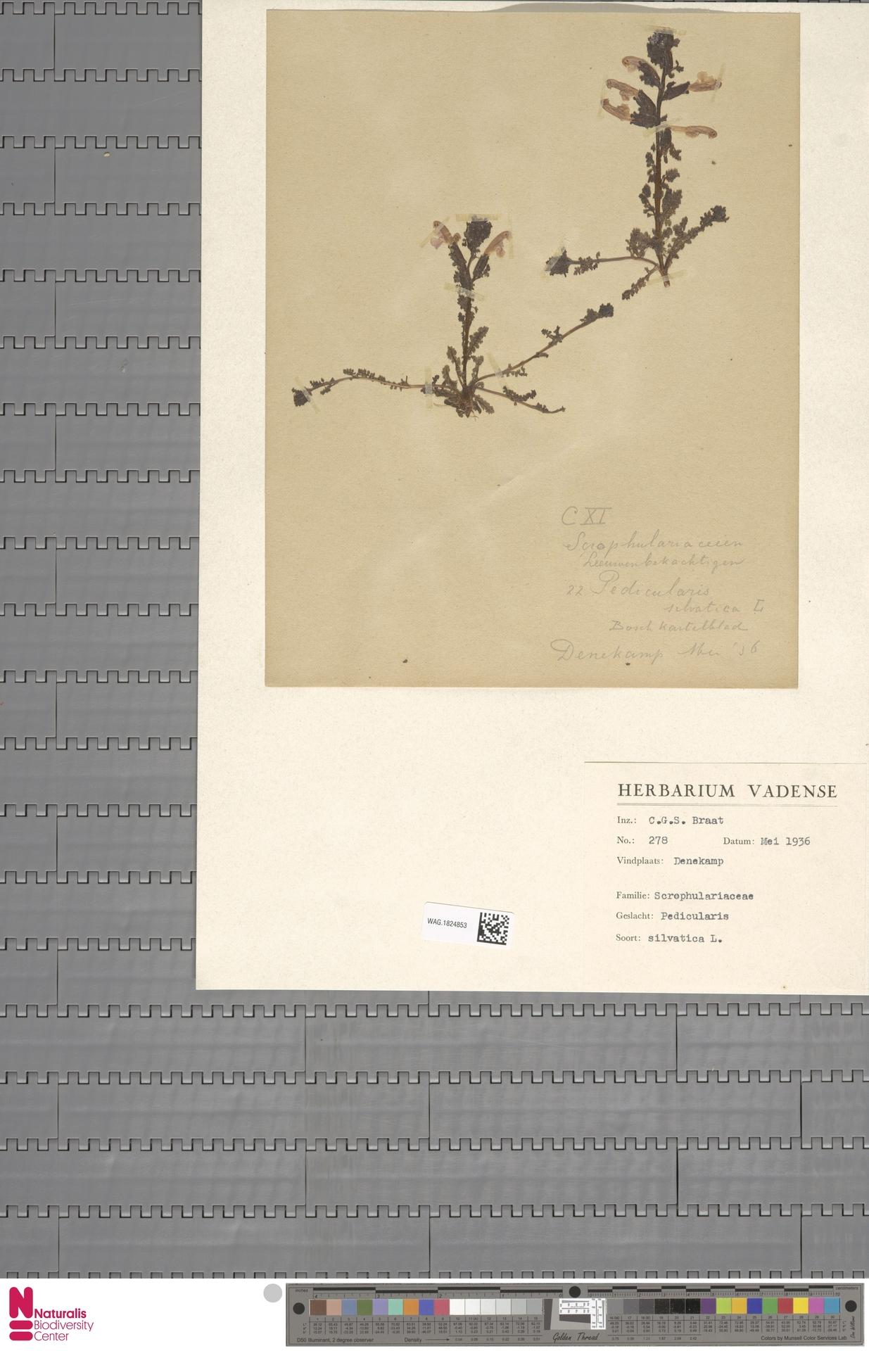 WAG.1824853 | Pedicularis sylvatica L.