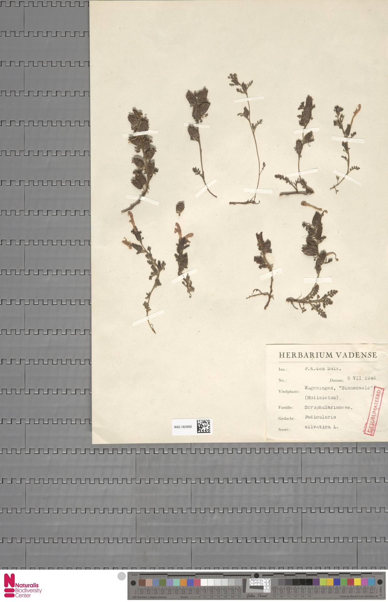 WAG.1824856 | Pedicularis sylvatica L.